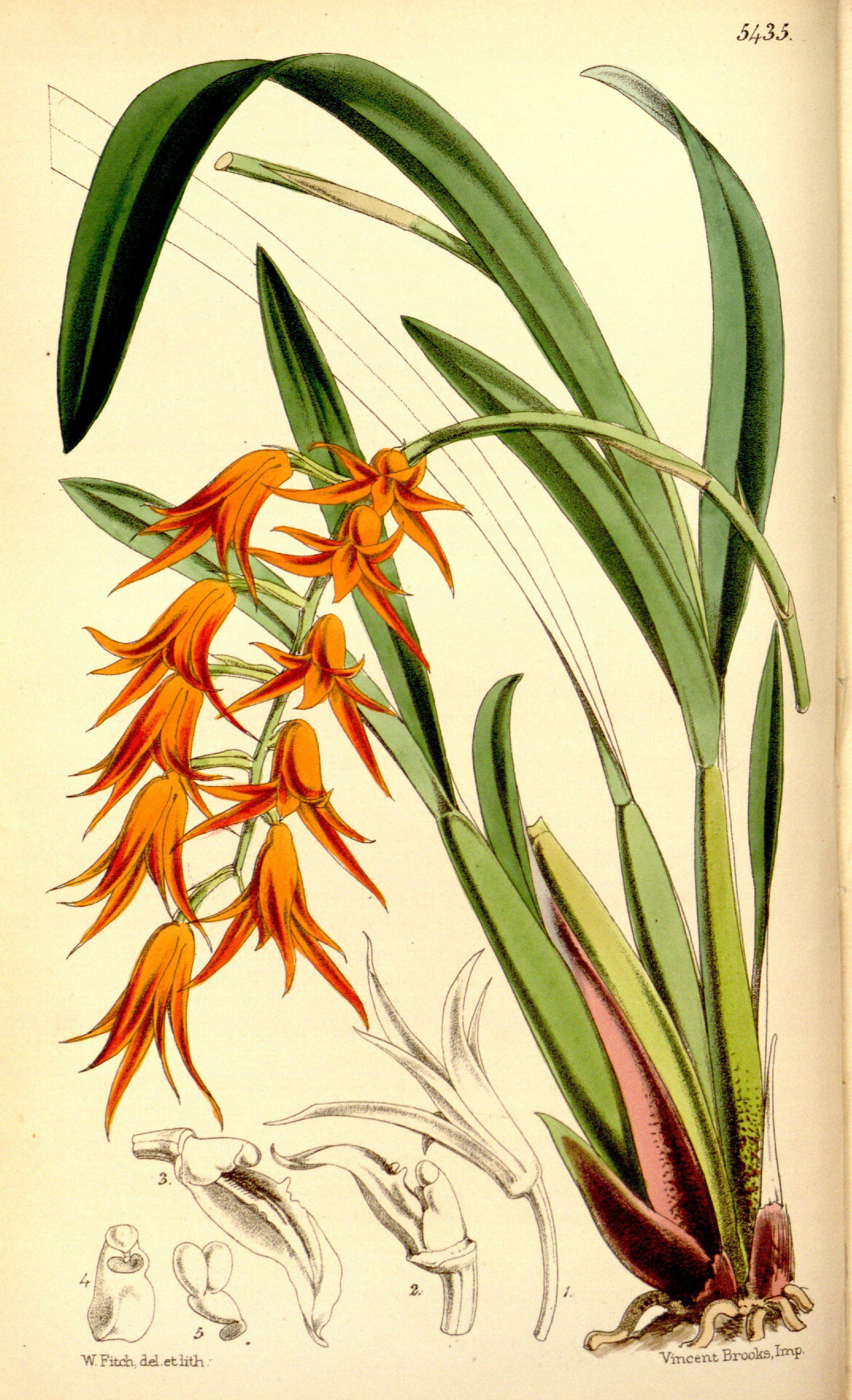 Botanical Illustration Of Ada Aurantiaca Featuring Bright Orange Flowers