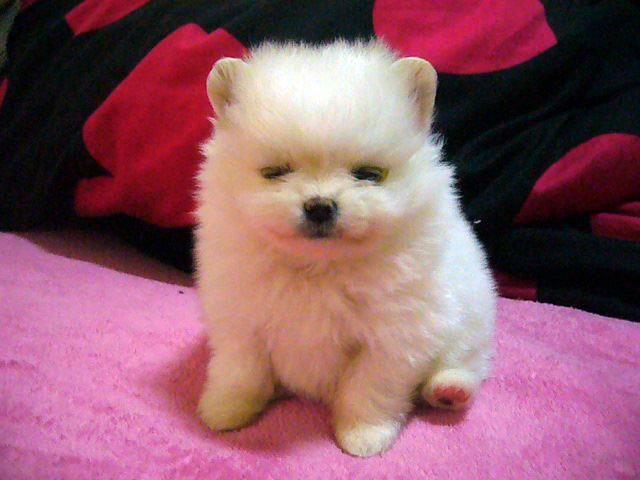 Pomeranian Baby One Month Cute Animals Puppy Dog Eyes