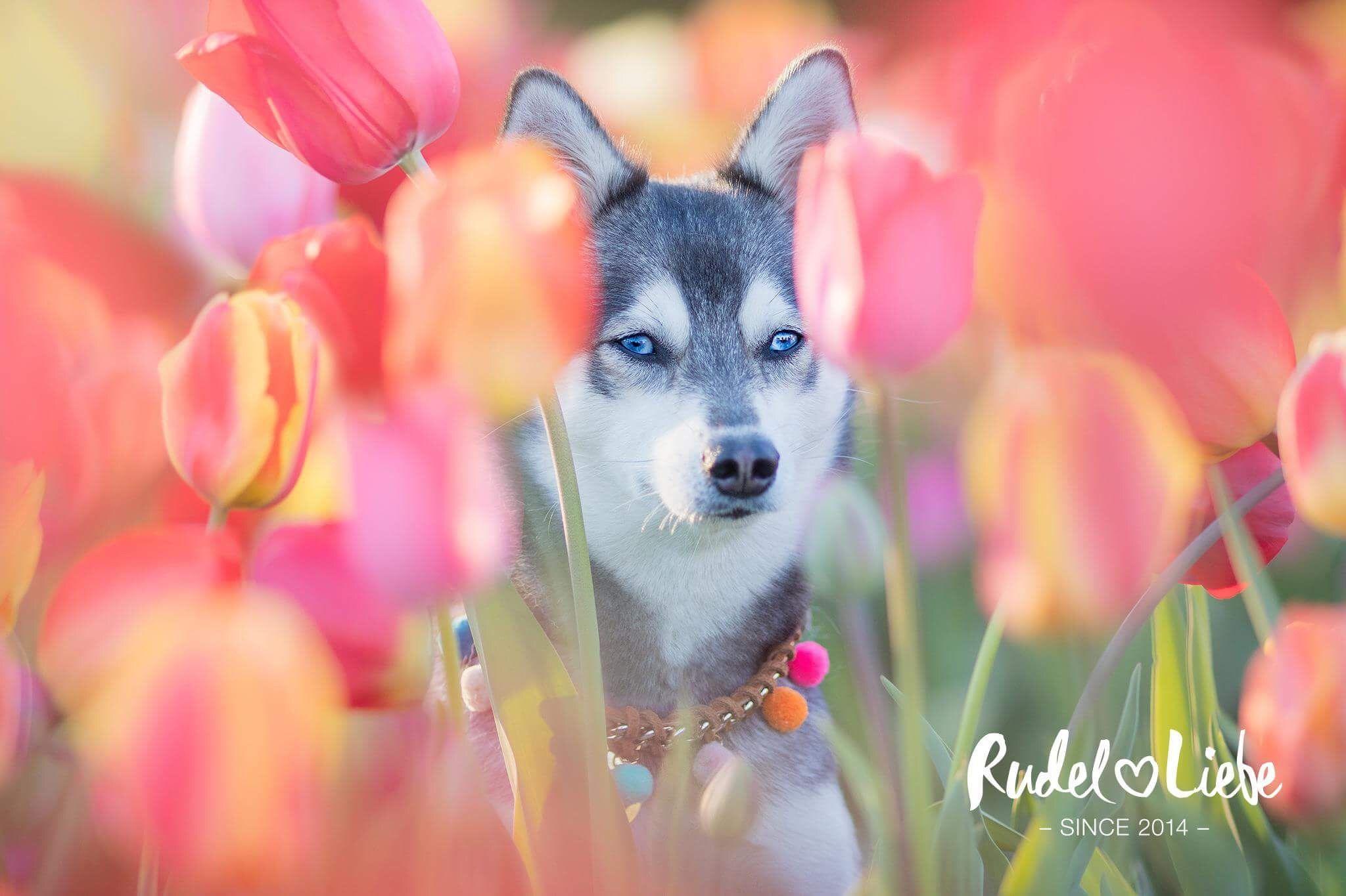 Maja Jack Russel French Bulldog Jackbull | Hunde