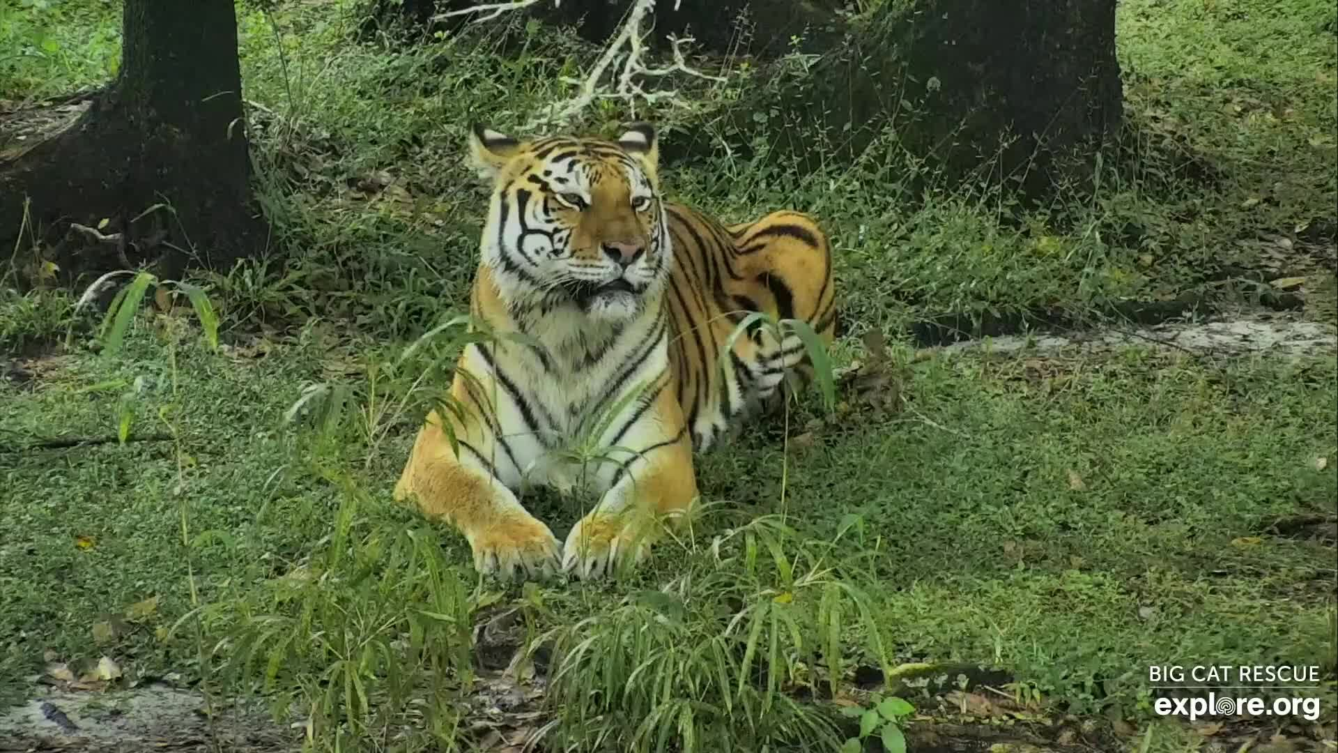 I M Watching The Big Cat Rescue Cam Streaming Live On Explore Org Big Cat Rescue Snapshots Cat Rescue
