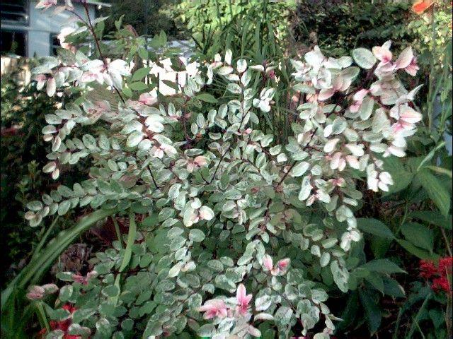 Hawaiian Snowbush Snow Bush Snow On The Mountain Sweetpea Bush Breynia Disticha Garden Shop Garden Fencing Shrubs