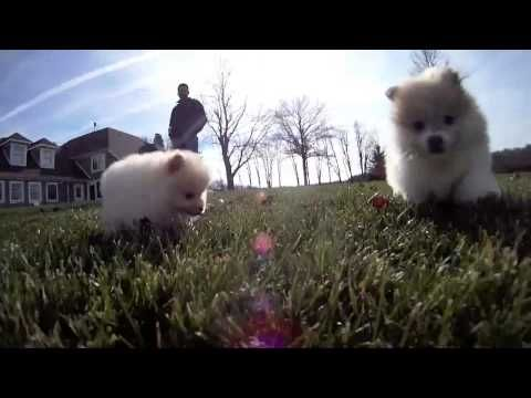 Pomeranian puppies for sale in Ohio | Buy Pom pup from