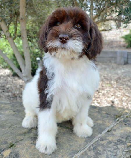 Charlie-the-Labradoodle #dale-holman-maine | Pets | Cute