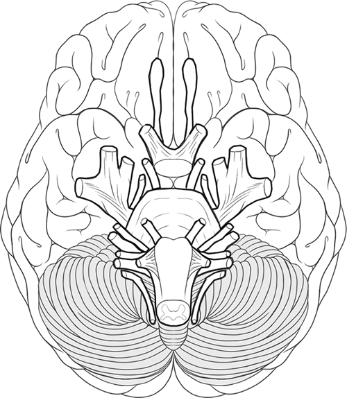 Cranial Nerves Coloring Human Brain Brain Anatomy Cranial Nerves