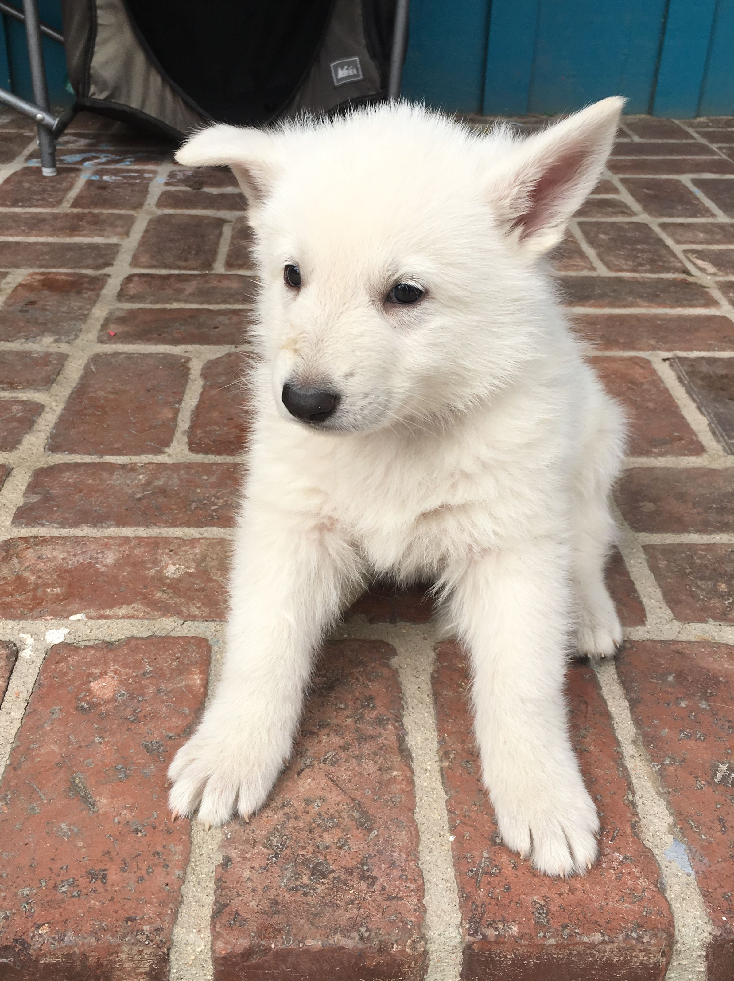 Tan Boy A Male Ukc White Shepherd Puppy For Sale In Fullerton