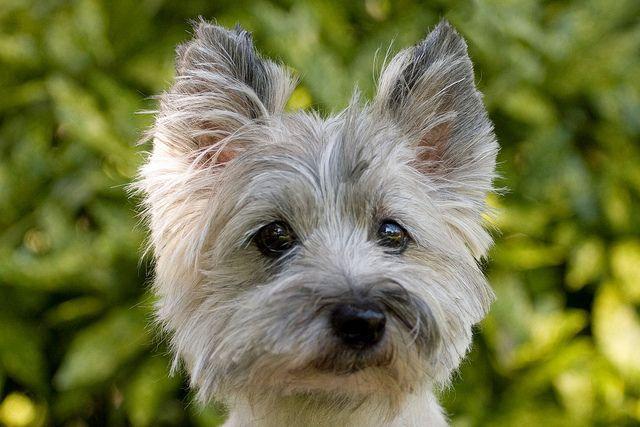 Thebeandealer My New Baby Cairn Terrier Puppies Cairn