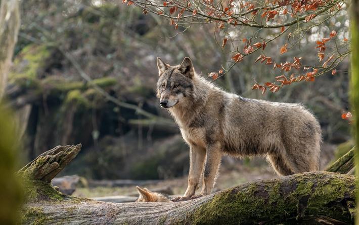 Indir duvar kağıdı 4k, kurt, yırtıcı hayvan, yaban hayatı