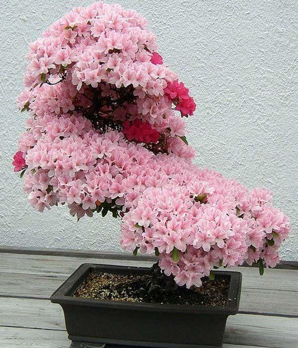 Caring Procedure Of Sakura Bonsai Cherry Blossom Bonsai Tree Bonsai Tree Bonsai Cherry Tree
