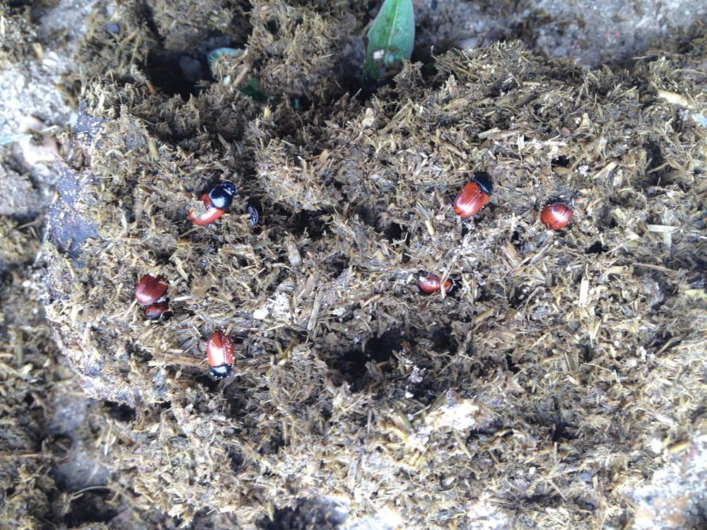 Dung beetles make the best employees Good employee, How