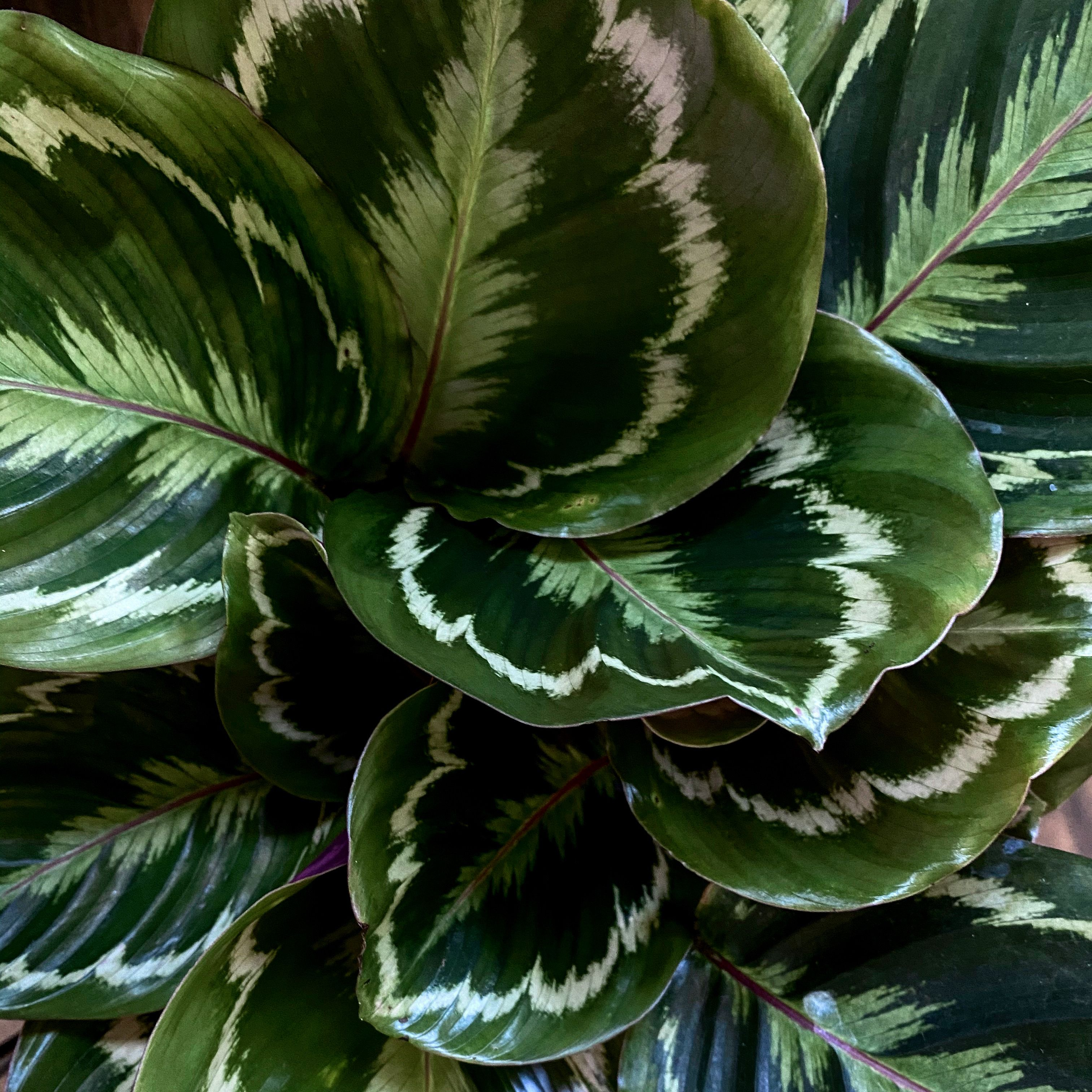 Beautiful Leaves 10 Beautiful House Plants That Are Easy To Find At Your Local Store My Tasteful Space In 2020 Plants Plant Aesthetic House Plants