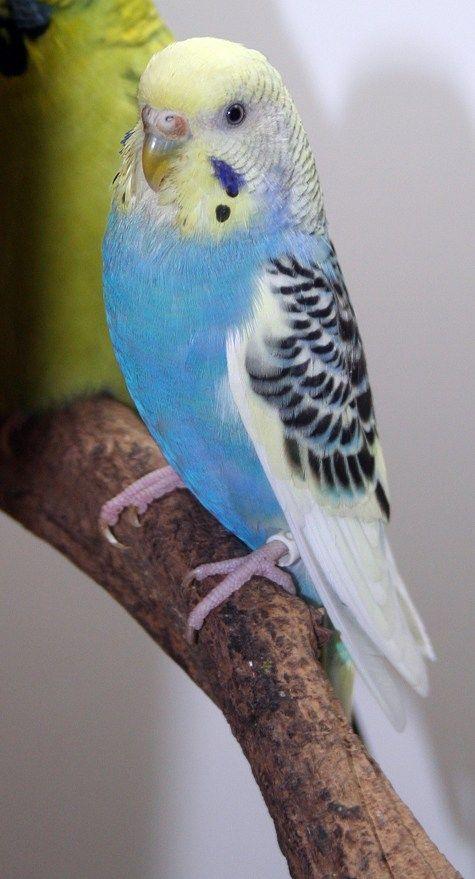 Budgie Parakeet Colors Varieties Mutations Genetics ...