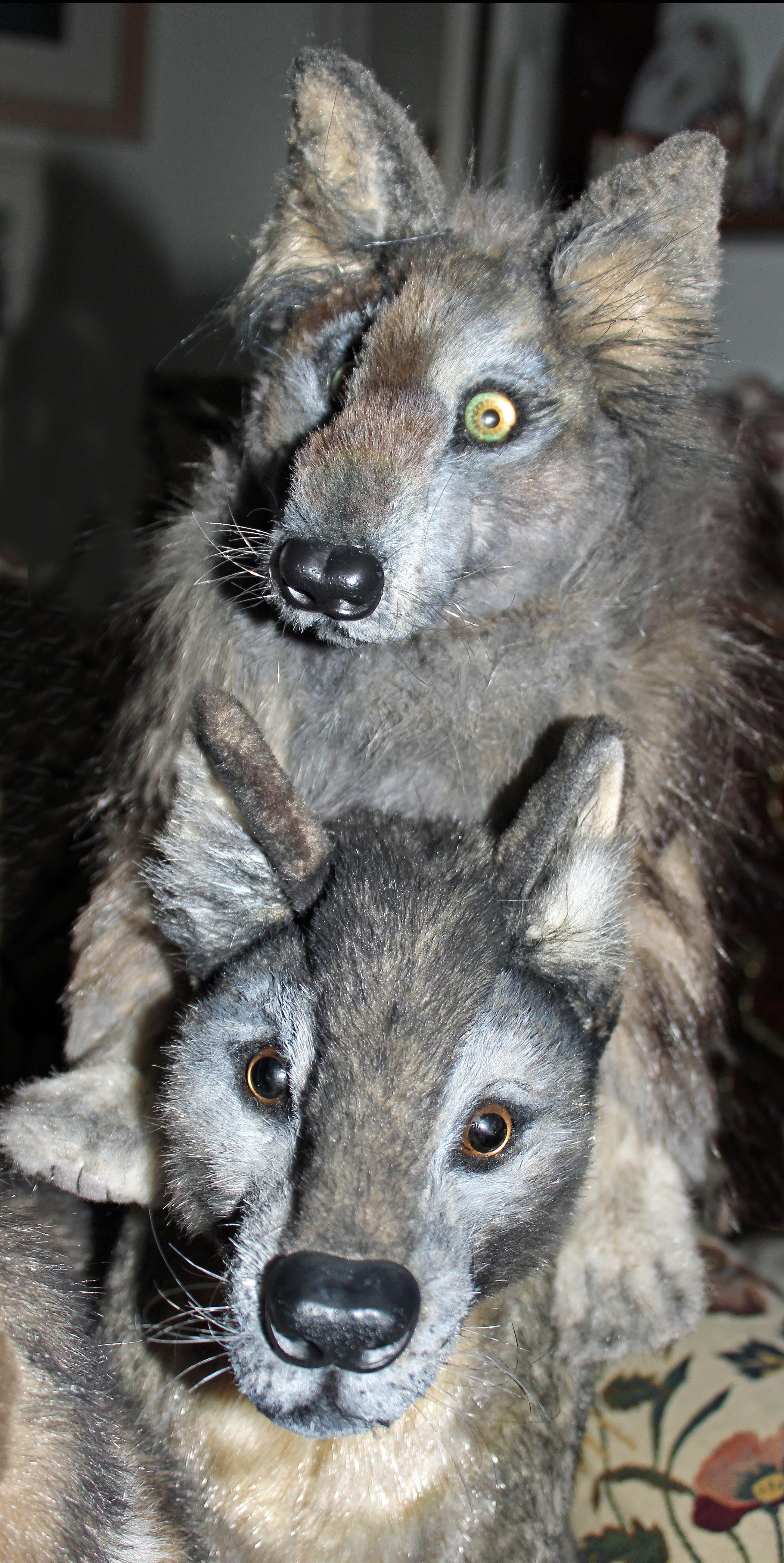 Stuffed wolves Bumpsy and Bitesey Realistic stuffed dog