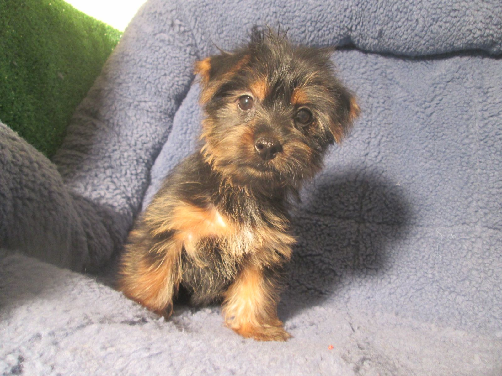 Lovable Silky Terrier Puppies Available 8 12 Weeks Of Age