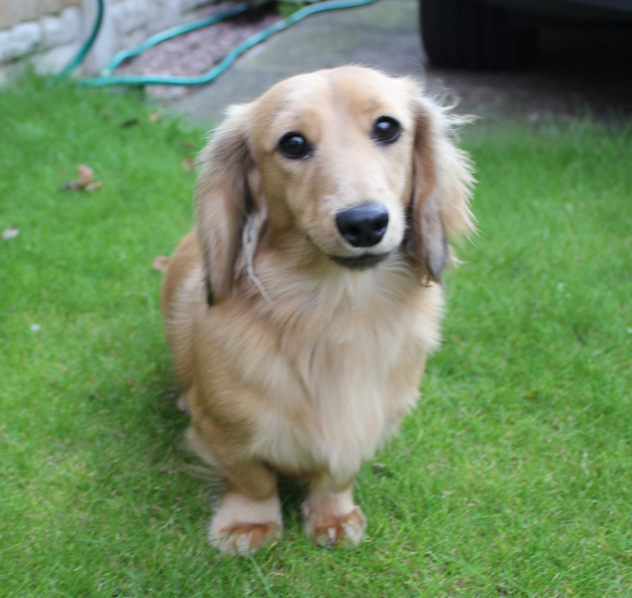 Long Haired Dachshund Puppies For Sale Near Me Guide Pets News And Review