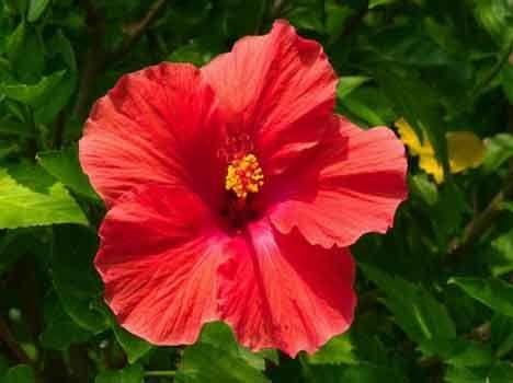 Benefits Of Gudhal Flower Gudhal Flower Hibiscus Hibiscus Bush