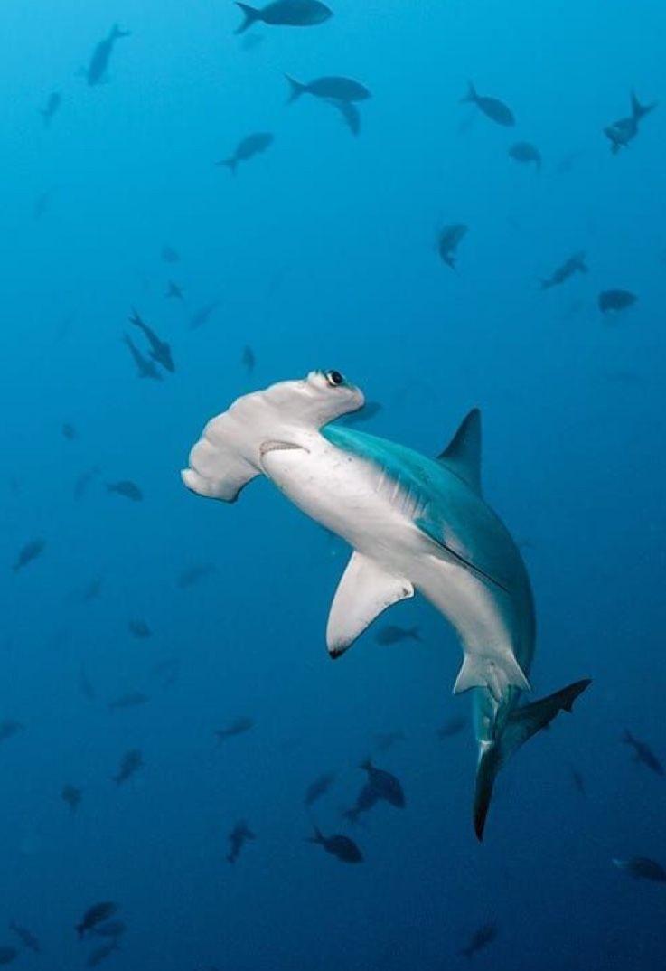 Pin De Rebecca Krajačić En Shark Love Especies De Tiburones Fotos De Tiburones Animáles De Océano