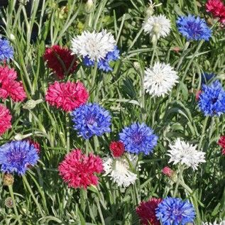 Cornflower Or Bachelor Button Seeds Patriot Mix Wildflower Seeds Bachelor Buttons American Meadows