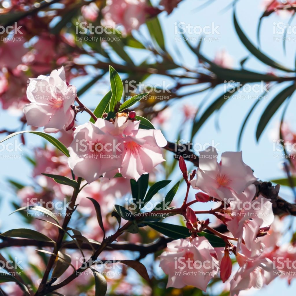 pink oleander flowers in the foliage nerium oleander flower and photos