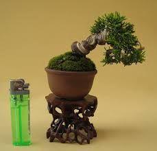 small bonsai - Google Search