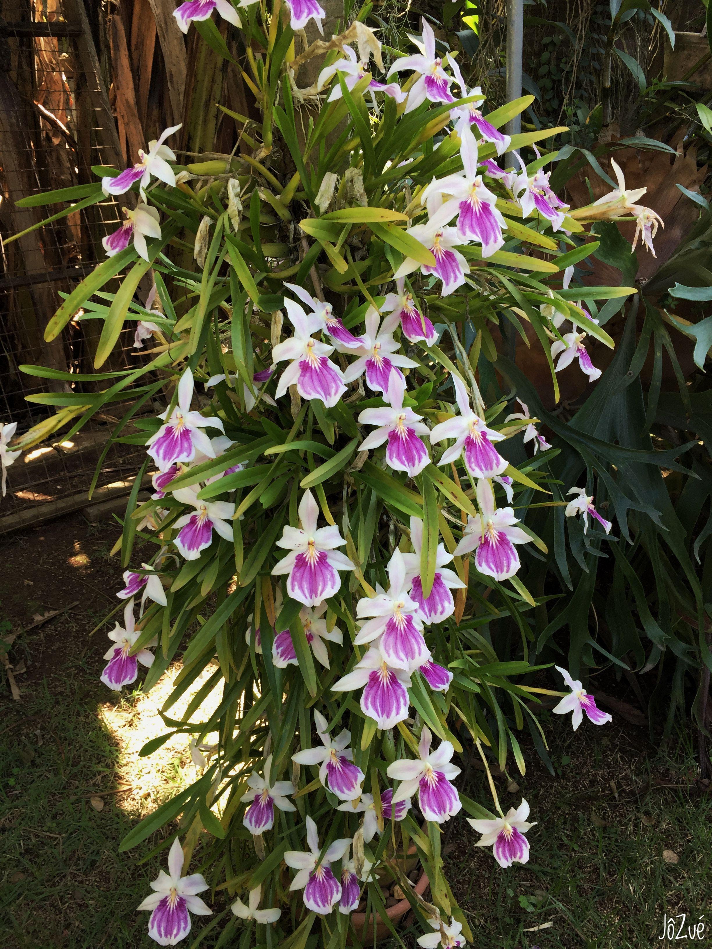 Miltônia spectabilis bicolor craby pinterest orchid plants