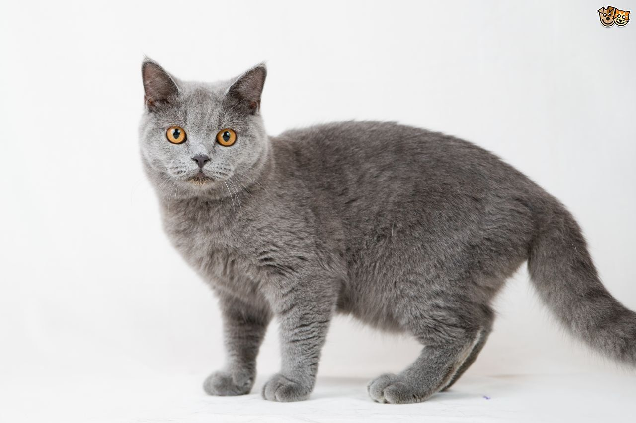 British Shorthair Cat Breed Facts Highlights Buying British Shorthair Cat Healthy Breed Cats T In 2020 Cat Breeds British Shorthair Cats British Shorthair