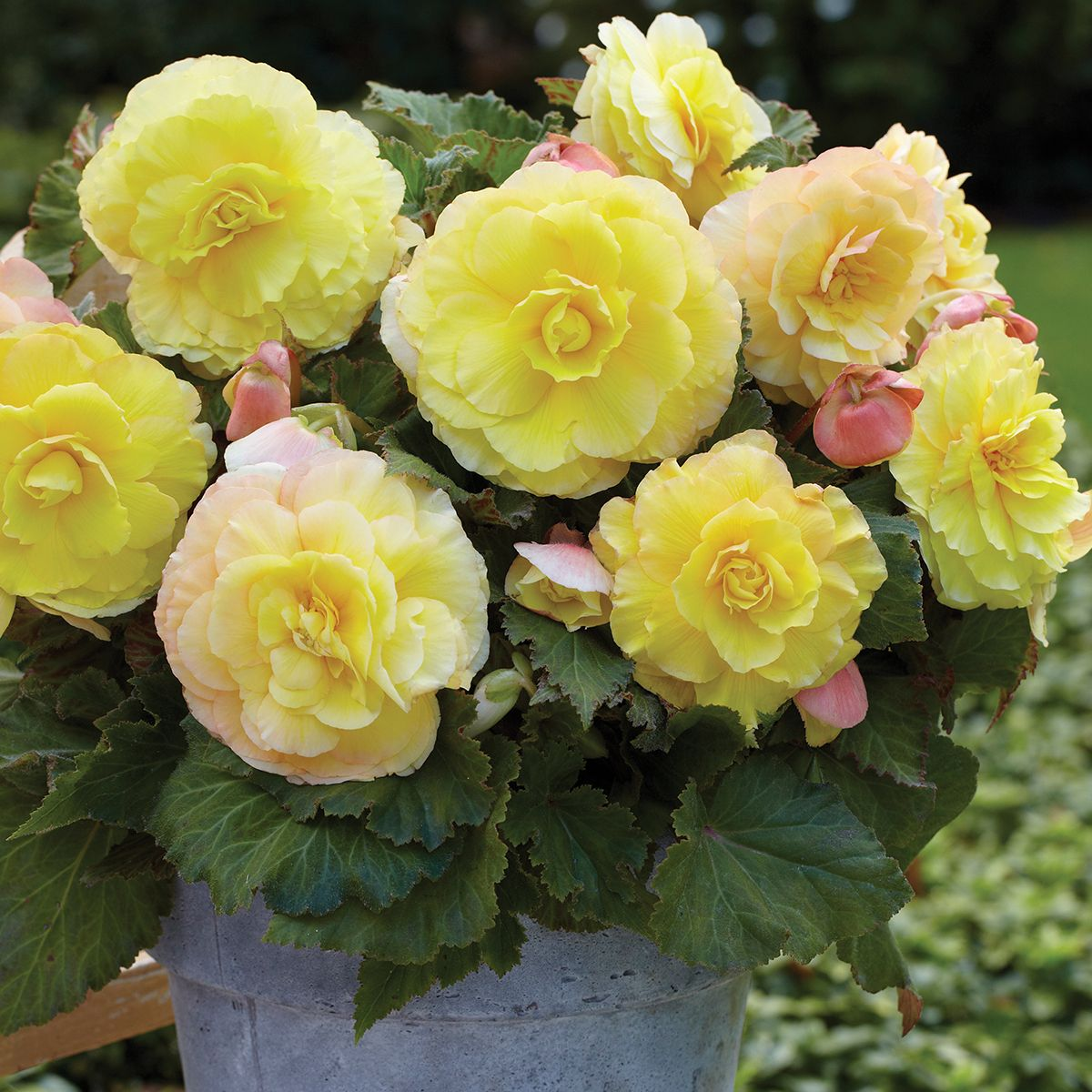 Begonia Strawberries And Cream Ngb Member Van Zyverden Inc Begonia Strawberries And Cream Produces Full Flowers Perennials Beautiful Flowers Pretty Flowers