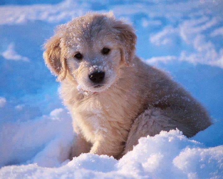 Little Snow Retriever Puppy Cute Dogs Golden Retriever