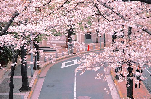 Cherry Blossom Lane Taiwan Beautiful Places Pretty Places Photo