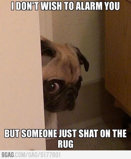 Hahahahaa pugcident