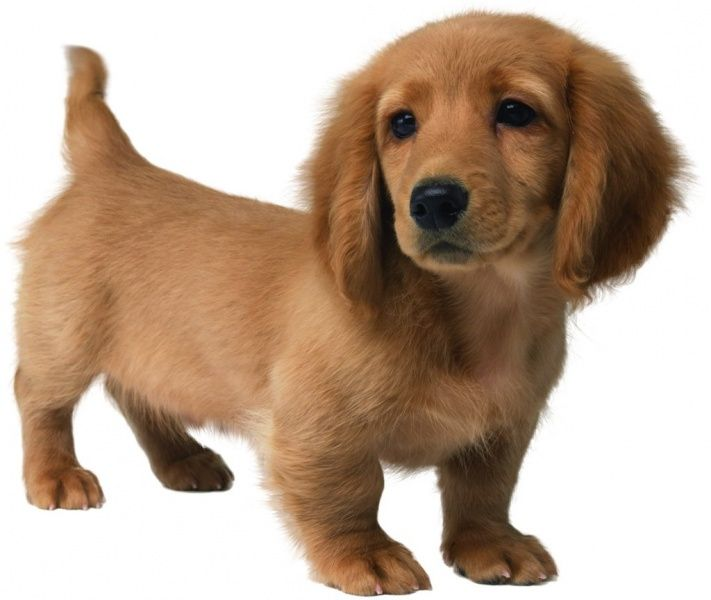 Should I Get A Puppy That Looks Like This Long Haired Dachshund
