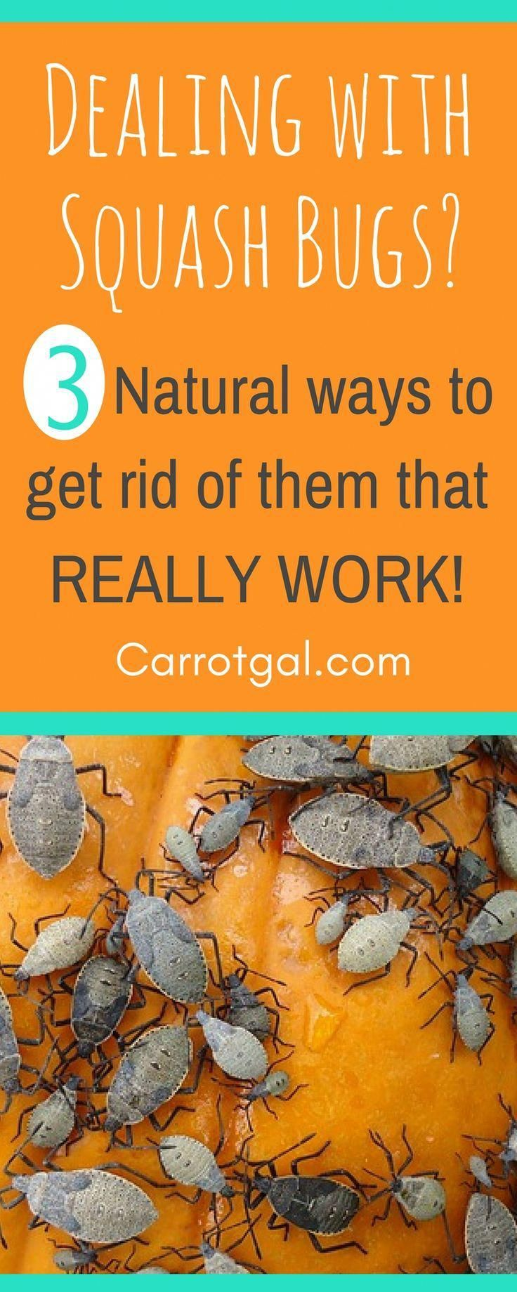Dealing with squash bugs here are 3 natural ways to get