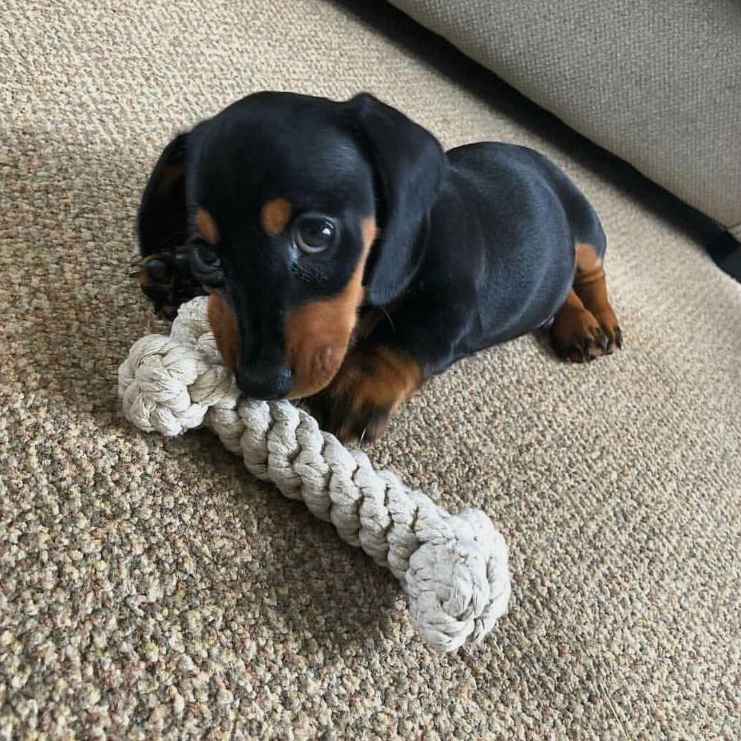 Cute Dachshund Puppy In 2020 Cute Baby Animals Dachshund Puppies Puppies