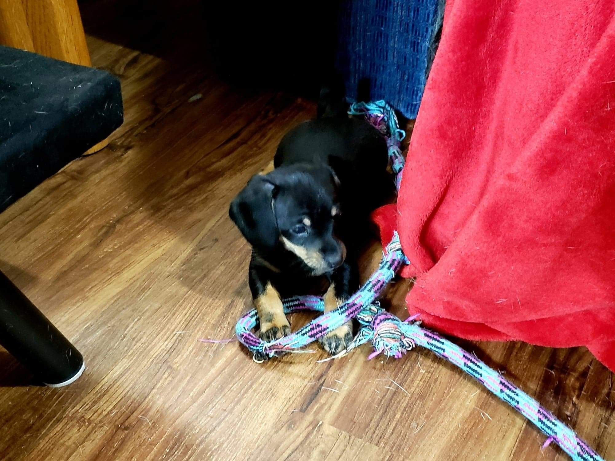 Chiweenie Puppies For Sale Central Point, OR 295373