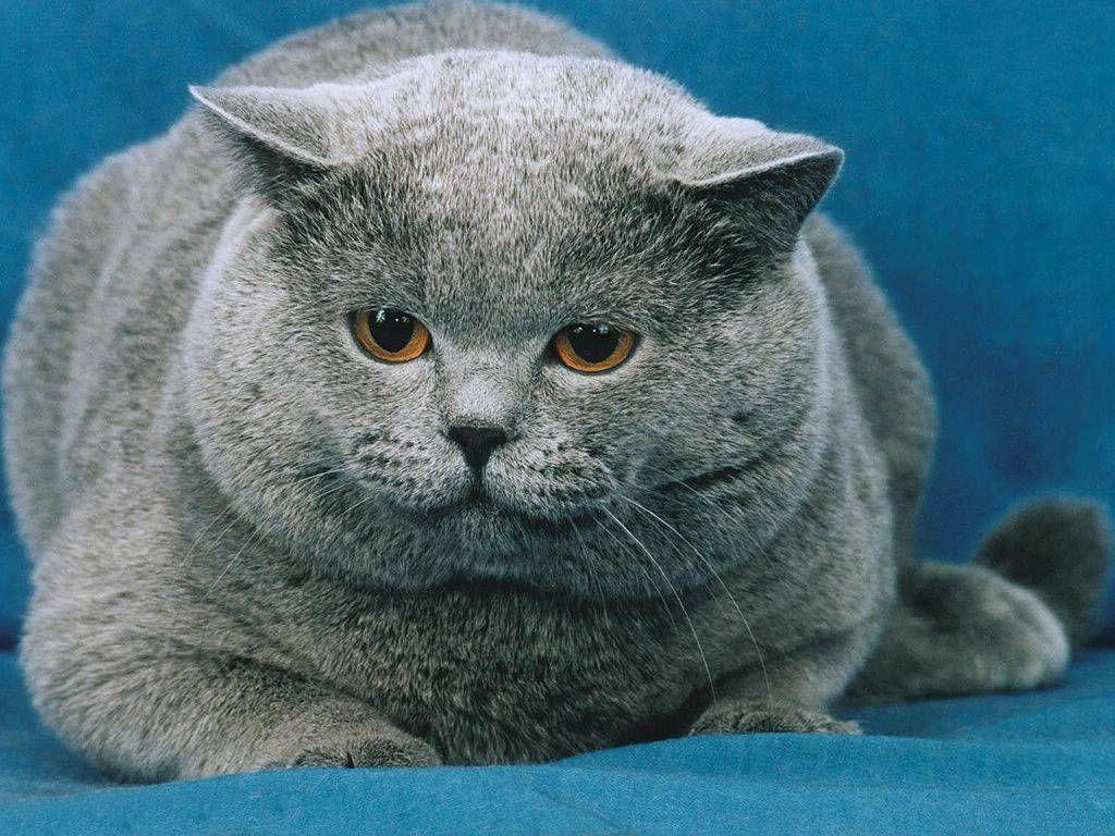 Cute Fat Cats - Bing Images