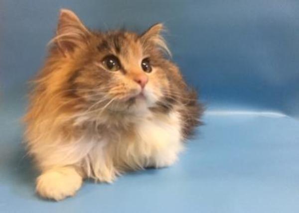 Domestic Long Hair Cat For Adoption In Buffalo Cat Adoption Kitten Adoption Long Haired Cats