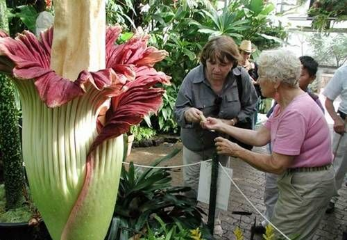 Amorphophallus This Is The Largest And Most Foul Smelling Flower In The World Growing It On Most Of The Islands Of Indones Weird Plants Plants Unusual Flowers