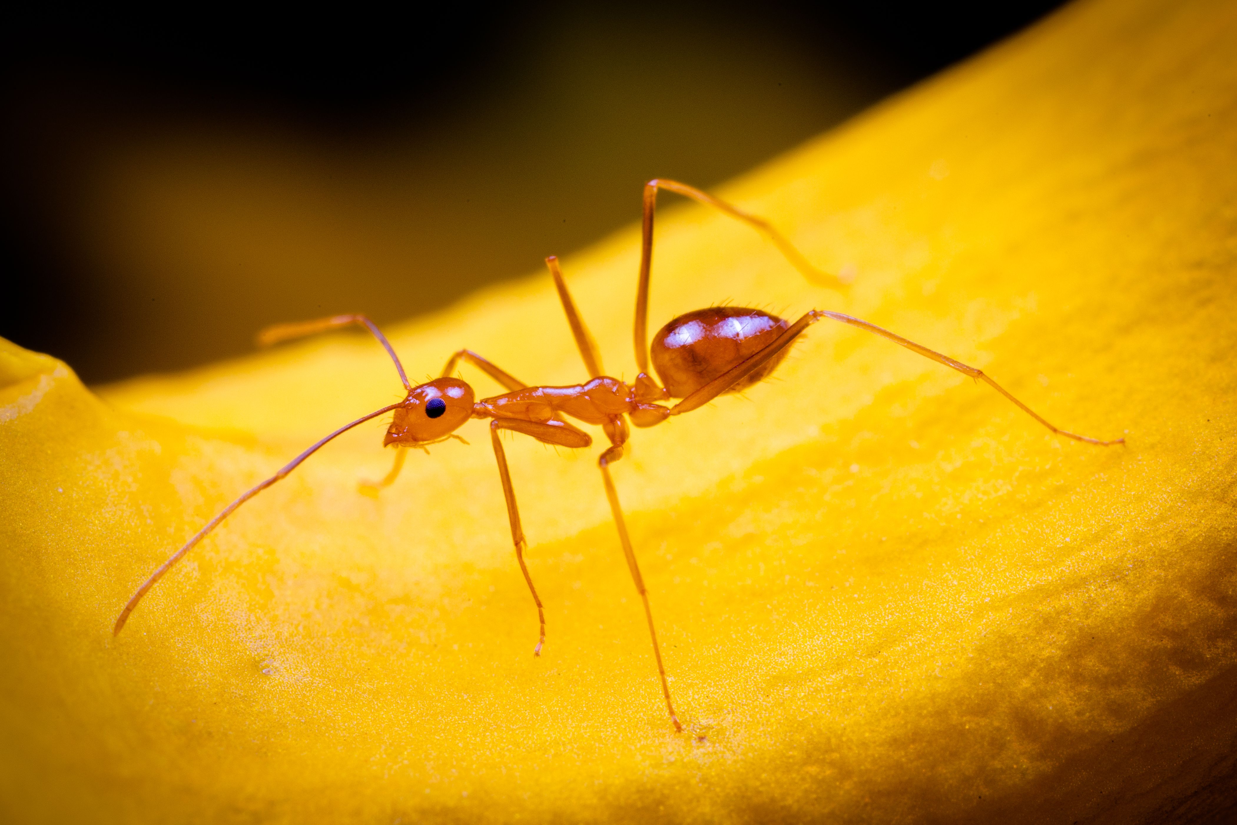 Anoplolepis Gracilipes Also Known Has Yellow Crazy Ant