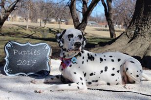 Litter Of 5 Dalmatian Puppies For Sale In Wichita Ks Adn 25611