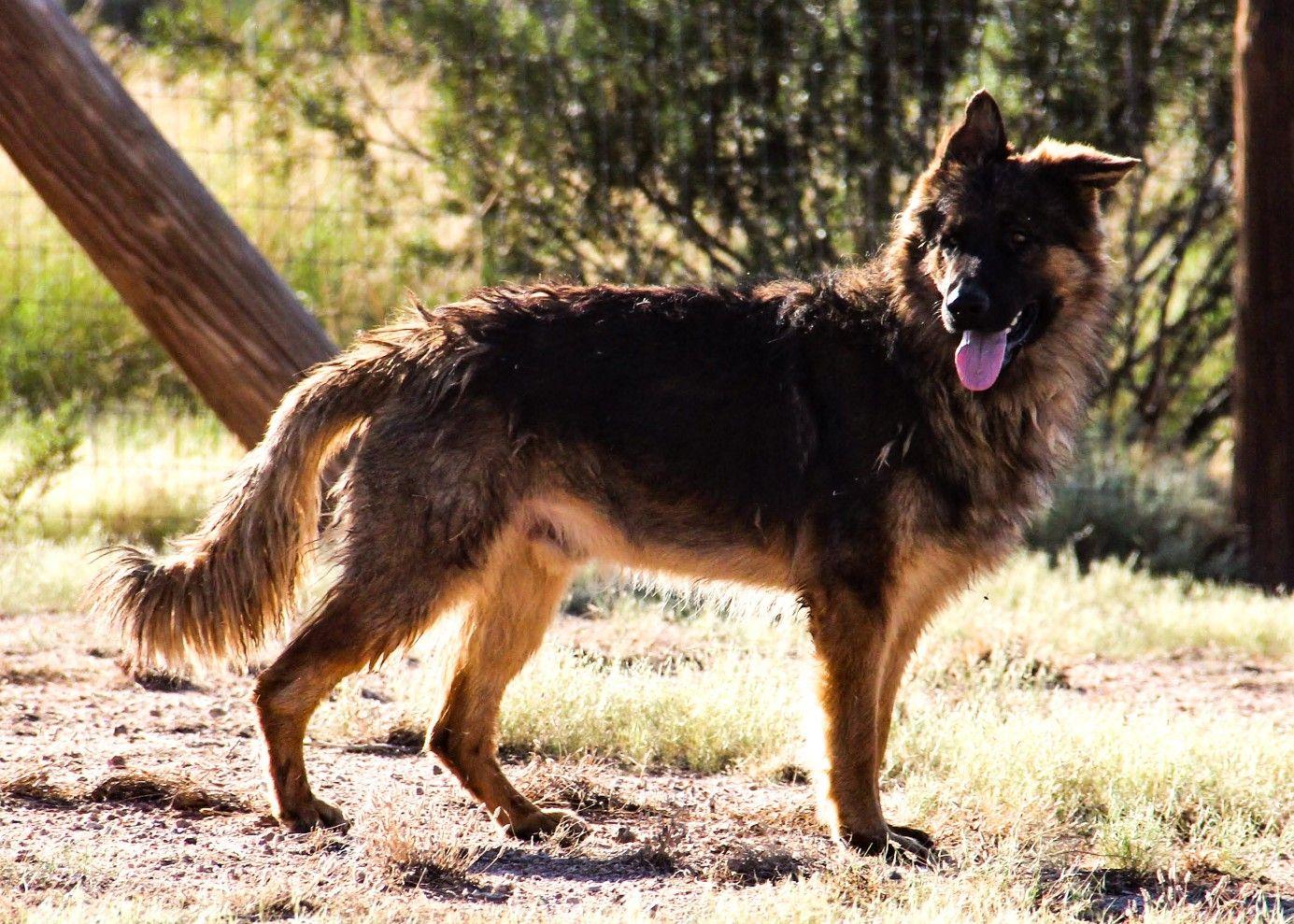 germanshepherd gsd protectiondogs