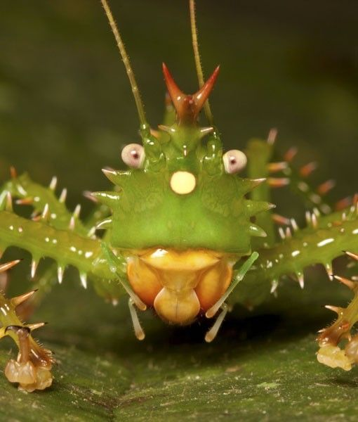 Spiny Devil Katydid        known to use its front legs to