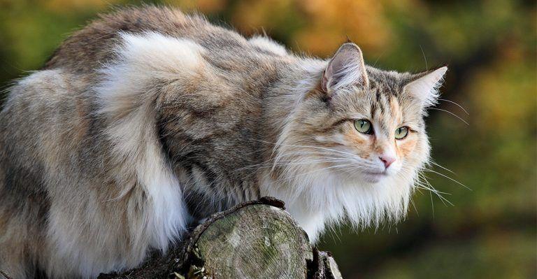 Norwegian Forest Cat Norwegian Forest Cat Forest Cat Cat Facts