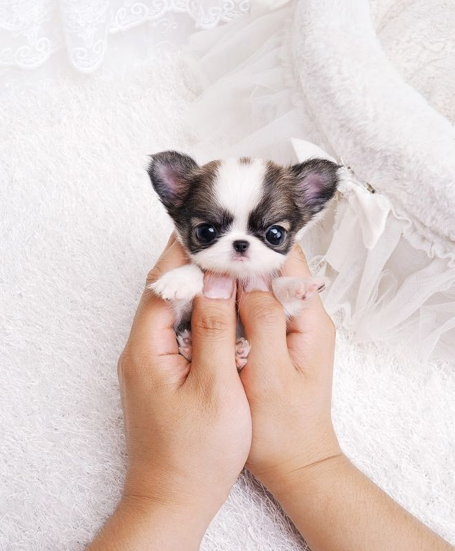 Teacup Chihuahua #teacupchihuahua #chiwawa 2lbs Fully Grown. Could be yours! For… #puppies