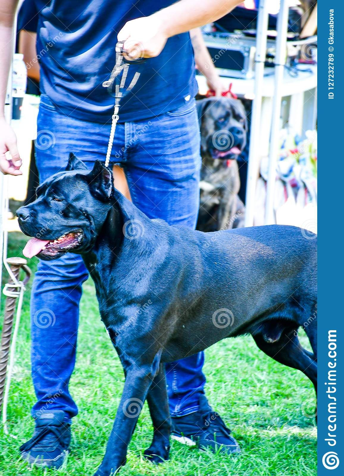 Cane Corso Italiano Editorial Stock Image Image Of Canoe