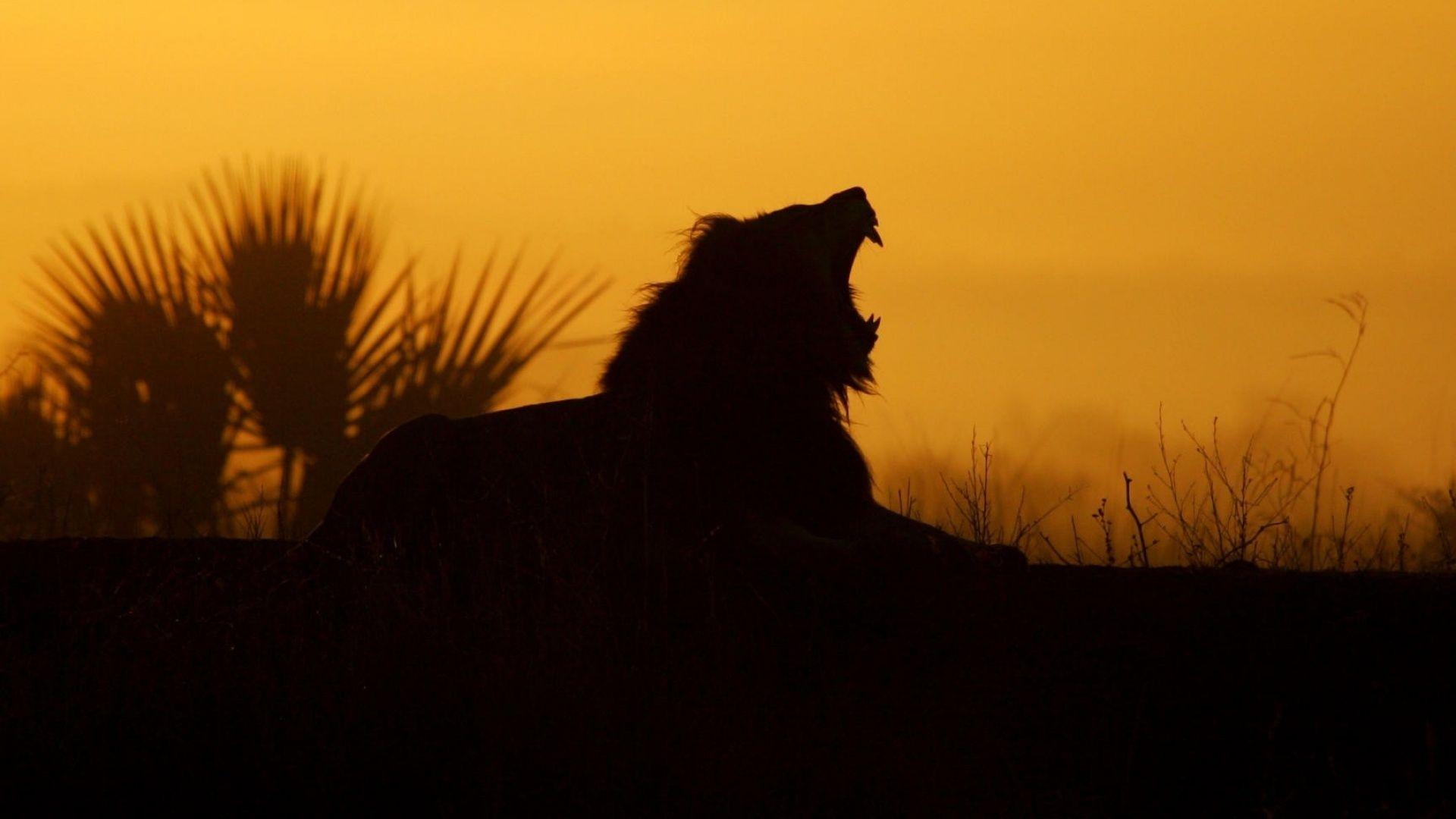 Hd wallpaper lion - Yawning Lion Sunrise Hd Wallpaper 1080p Free