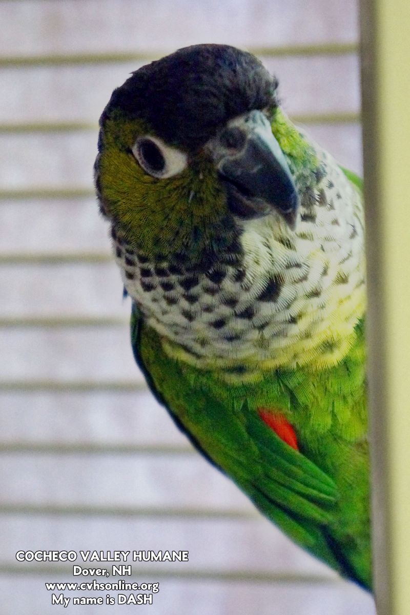 Dash is a green cheek Conure who was surrendered to the