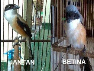 Pin Di Burung Pentet Berkicau Mania