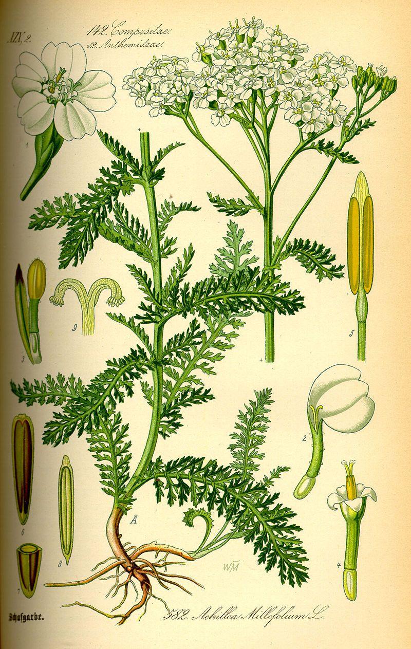 Illustration Achillea millefolium0 - Duizendblad (soort) - Wikipedia ...