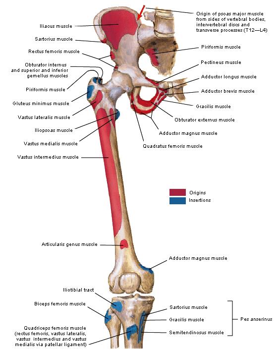 Anatomie: heup,bovenbeen,knie,onderbeen,enkel,voet,acetabulum,collum ...