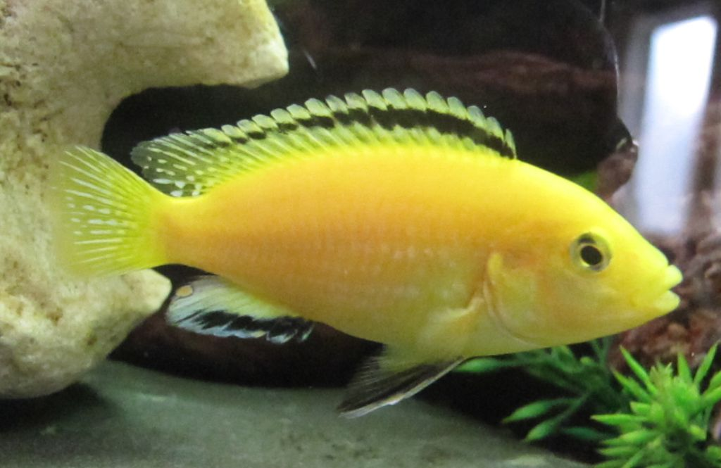 Labidochromis Caeruleus Yellow Lab African Cichlid I Have One Of These In My Tank This Is One Of My Photos Cichlids African Cichlids Aquarium Fish Tank