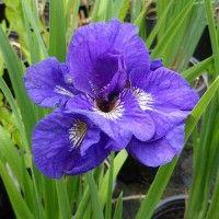 Iris Sibirica Kabluey Iris Flowers Most Beautiful Flowers Plants